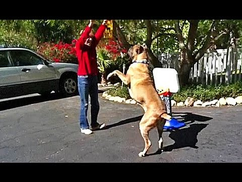Unbelievable Cane Corso Training And Obedience