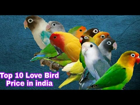 Top 10 Lovebird Price in india
