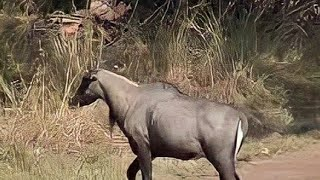 Only in Indian Continental Animal Nilgai or Blue bull Closeup video