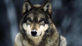 видео Волки