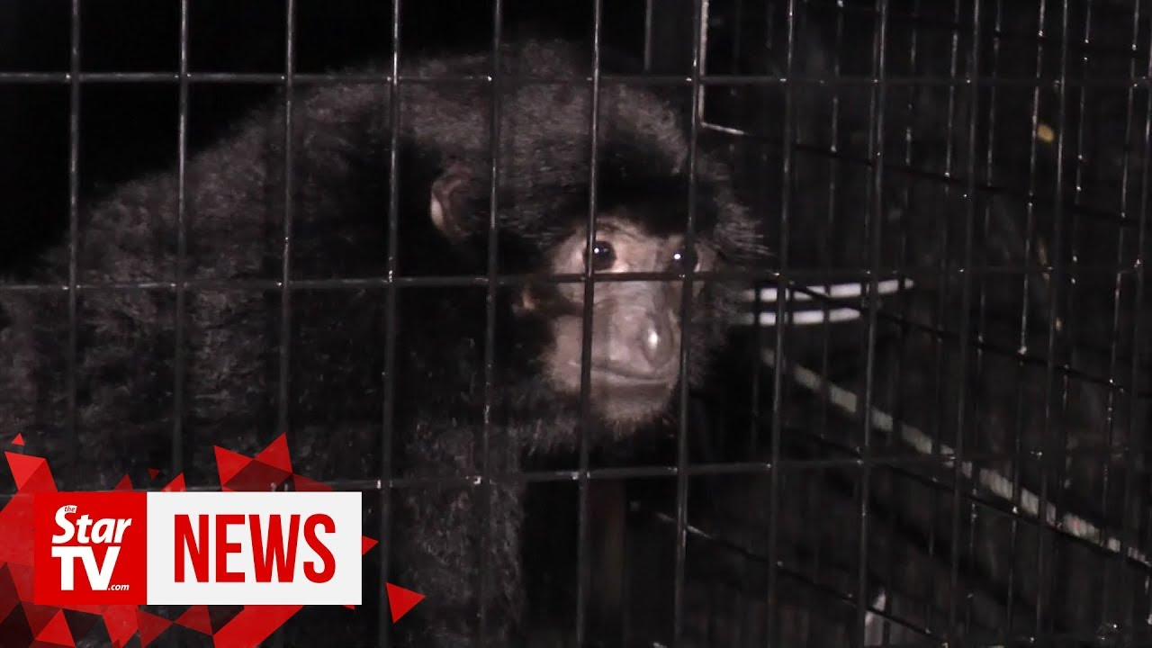 Wildlife officers rescue two gibbons kept as pets