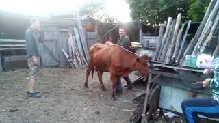 Как свалить корову с ног.