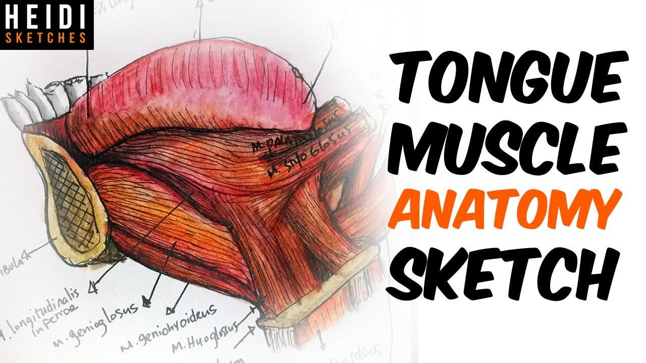 How to draw Tongue muscles anatomy - YouTube