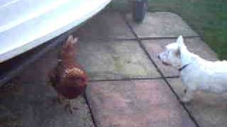 Westie Playing With Chickens