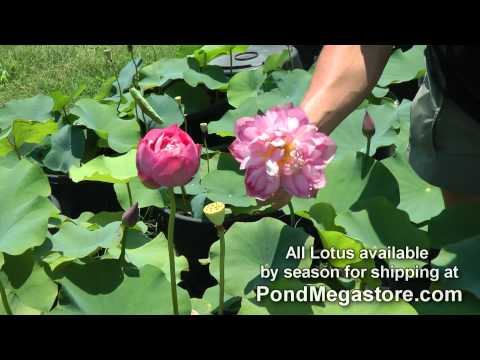 Growing Lotus 136, Nelumbo, Water Garden Lotus, Red Pond Lotus
