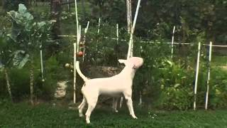 Funny English Bull Terrier Stealing Tomato