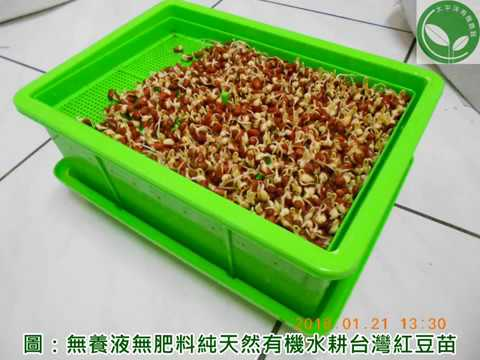 種紅豆長什麼|涼拌有機紅豆苗的做法與有機紅豆芽苗菜食譜分享 - YouTube