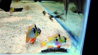 видео Mikrogeophagus ramirezi (апистограмма рамирези) - Цихлиды - Каталог статей - Каталог статей - Аквариумные рыбки