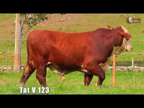 LOTE 19   TAT V123 BRAFORD SÃO BENTO 2 ANOS