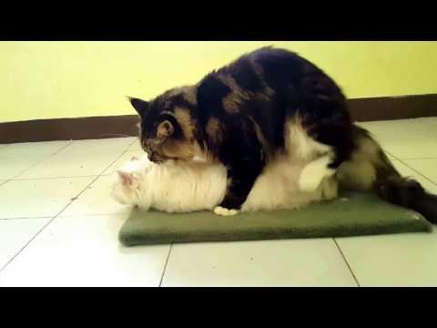 Kucing Mainecoon Kawin