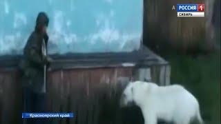 Разгуливающие по улицам белые медведи держат в страхе жителей Диксона