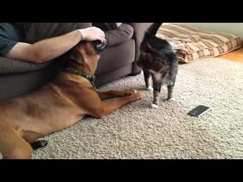 Cat cuddles with boxer dog