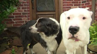 Dog helps save neighbor's dog from coyote attack in Magnolia