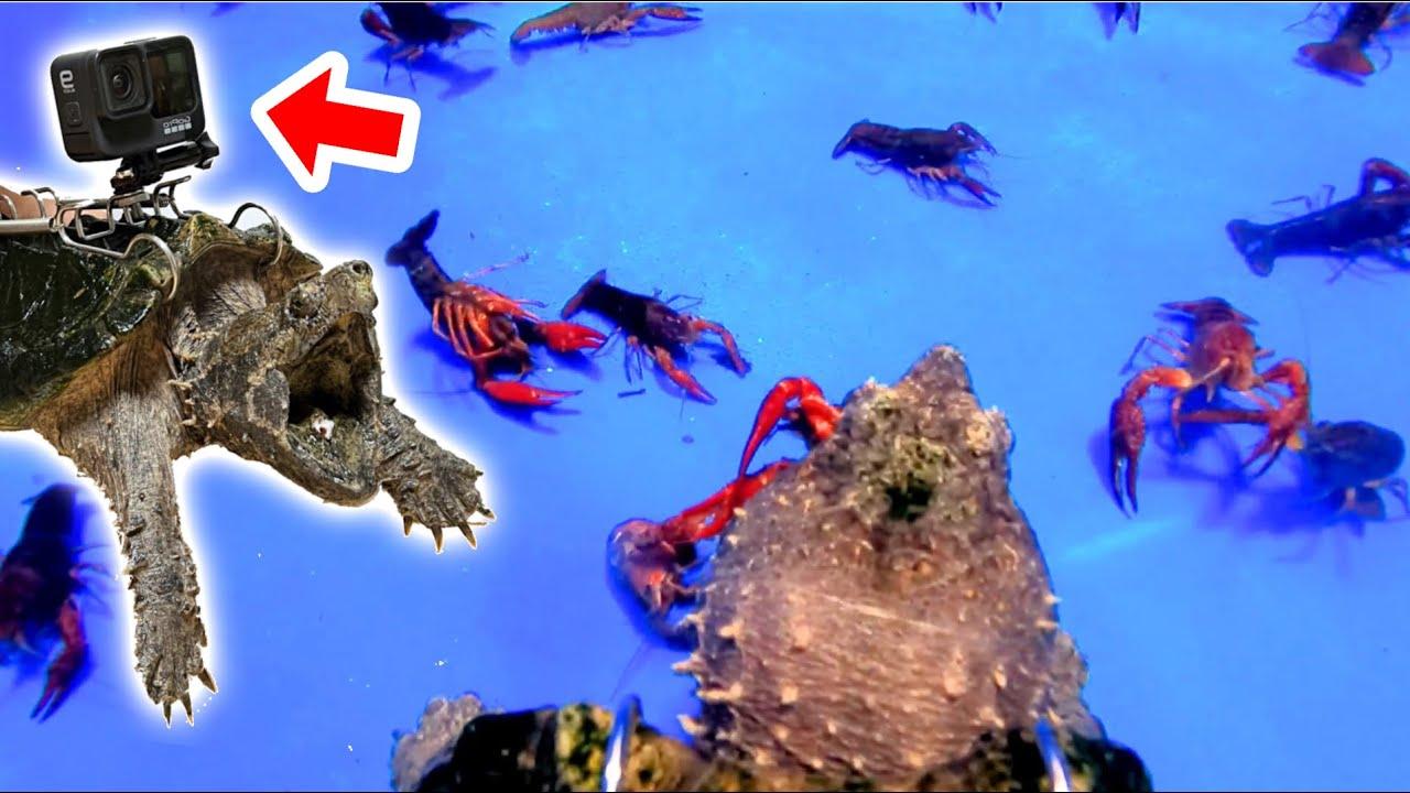 ワニガメの甲羅にカメラを付けてザリガニの捕食シーンを撮影してみた