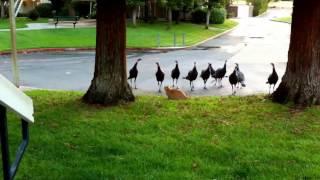 Gangster Turkeys attack Cat!!!!! RUN!!!!!!!!!!!!