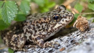 Endangered Frogs Released into Native San Diego Habitat
