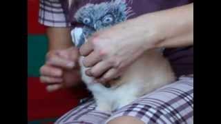питомник шпицев как причесать щенка