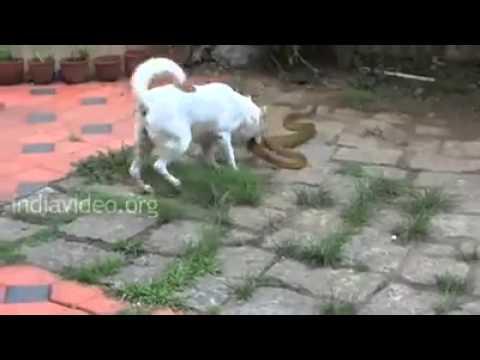 Dog saap