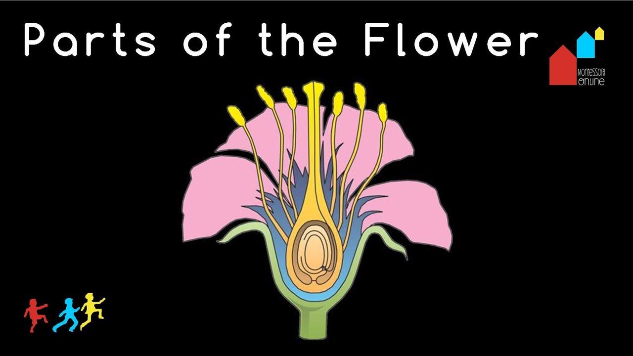 Montessori Botany Nomenclature  Parts Of The Flower  Youtube