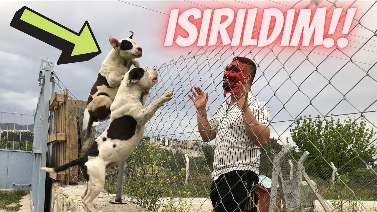 KÖPEKLERE MASKEYLE ŞAKA YAPMAK PAHALIYA PATLADI FURKAN ISIRILDI!!