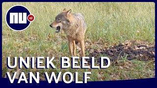 Unieke beelden van wolf op Sallandse Heuvelrug | NU.nl