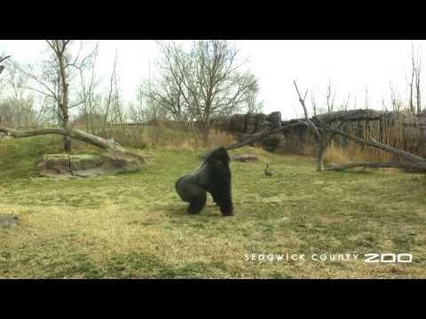 Gorilla vs. Goose: Round 2