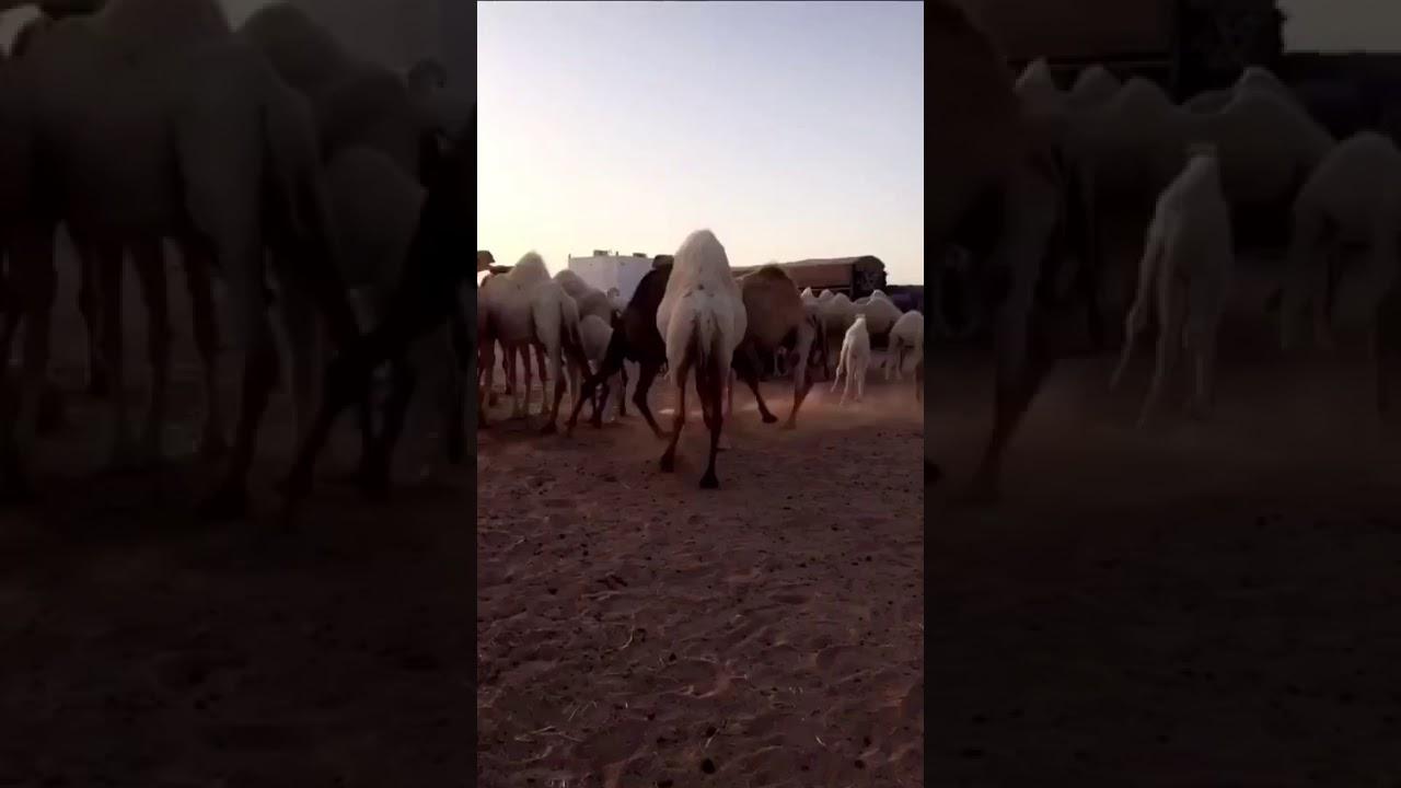 Photo of هوشه ابل مضاربة جمال البدو الابل شيله طرب وناسه  شاهد – ايفون