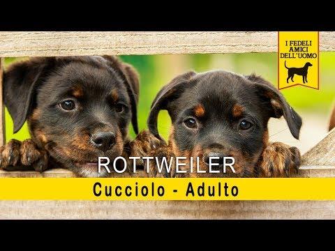Rottweiler – Cucciolo – Adulto