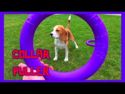 Funny Dog Toy Critic Louie The Beagle Episode #6 : COLLAR PULLER