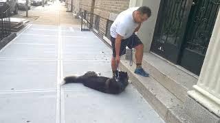 Хаски не хочет возвращаться домой после прогулки в парке