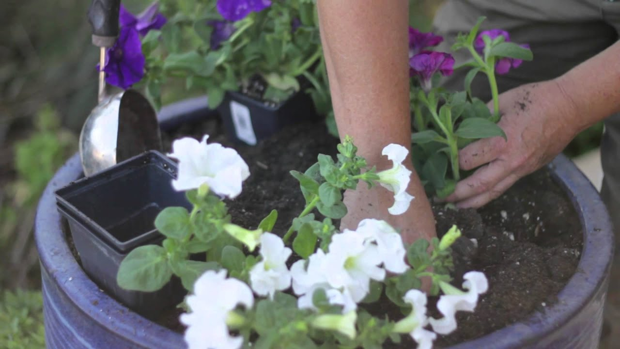 How to grow petunia from seeds - How Far Apart Do You Plant Petunias How To Grow Maintain Garden Plants Youtube
