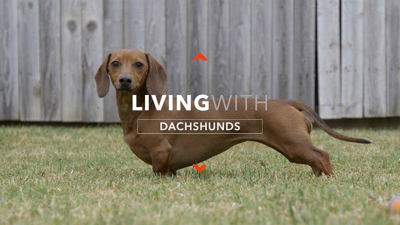 boală articulară în dachshunds)
