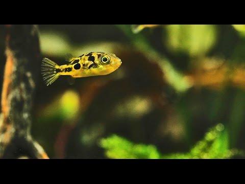 Dwarf pufferfish nano aquascape with Dennerle plants