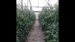 формирование томатов помидоров наше приспособление(наше приспособление для получения большого урожая помидор На нашем канале Вы найдете видео ролики о выращи..., 2014-07-12T14:32:10.000Z)