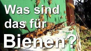 Erster Pollenflug - Kontrolle: was sind das für Bienen? Sicula, Carnica, Buckfast, Ligustica?