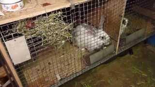 Кормление кроликов зимой в гараже(Простой метод., 2014-03-31T10:58:48.000Z)