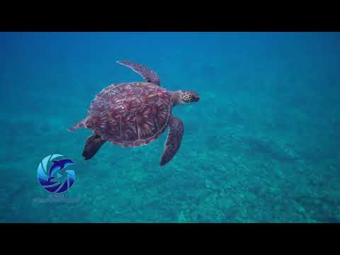 TURTLES of HAWAII