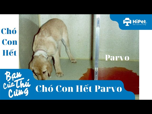 Chó Con Hết Parvo - HiPet