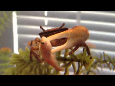 Fiddler Crab Eating