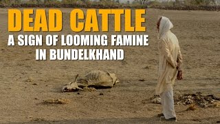 Dead cattle a sign of looming famine in Bundelkhand