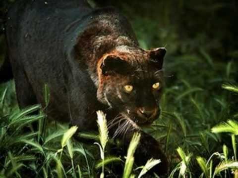 o mist rio e a beleza da pantera negra the black panther 39 s youtube. Black Bedroom Furniture Sets. Home Design Ideas