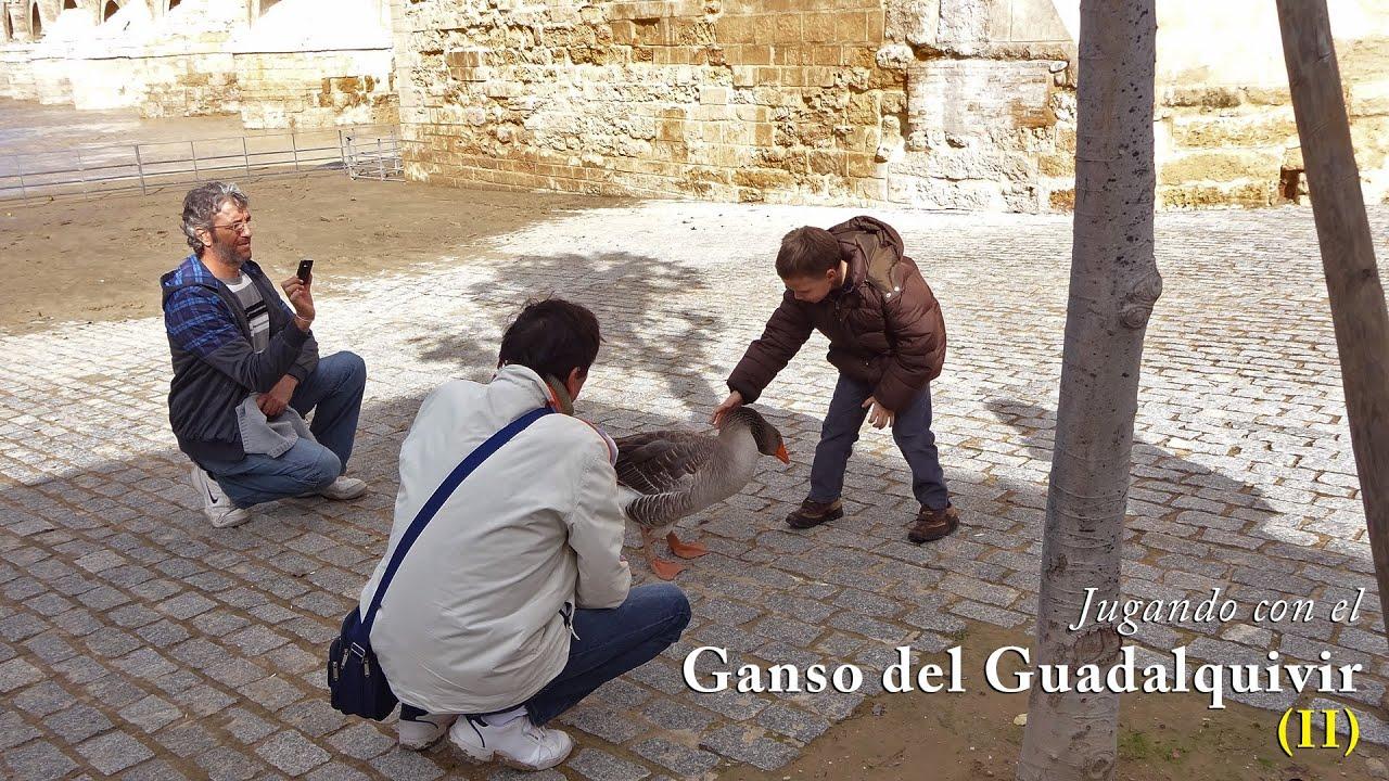 Jugando Con El Ganso Del Guadalquivir Ii 11 Nov 2012 Youtube
