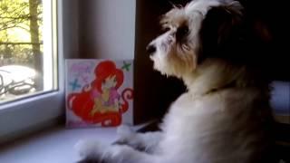 Моя собака смотрит в окно