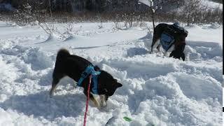 黒柴はる 雪でも掘り掘り thumbnail
