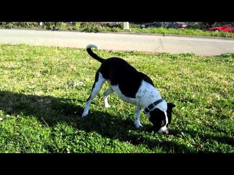 Nuchal, the three-legged dog, running
