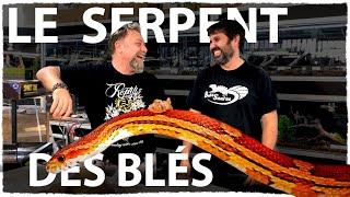"""Pantherophis guttatus """"Hypo Bloodred"""" - Serpent des blés vidéo"""