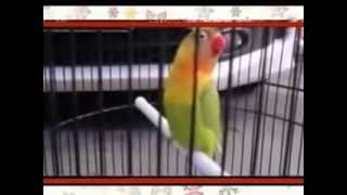 LOVE BIRD KUSUMO JUARA NASIONAL