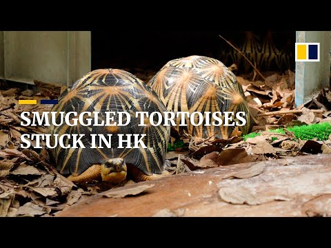Endangered tortoises awaiting new home stranded in Hong Kong due to Covid-19 pandemic