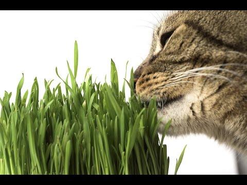 где выращивают пшеницу