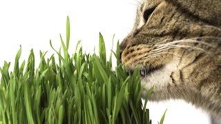 Как вырастить ТРАВУ для КОШКИ и других домашних животных | Несложная инструкция